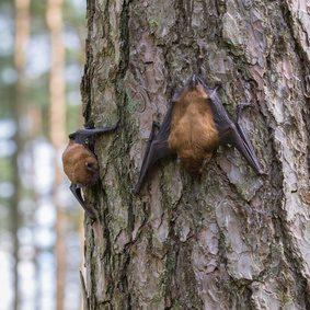 Zwei Fledermäuse