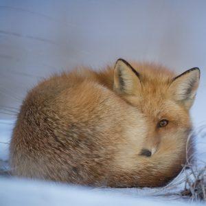 roter Fuchs im Schnee