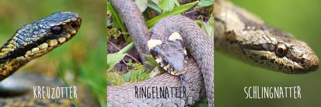 Erkennungsmerkmale von Schlangen